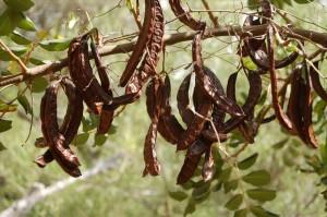 Carob: the Migraine-Friendly Chocolate- Migravent